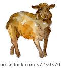 Lamb farm animal isolated. Watercolor background illustration set. Isolated sheep illustration 57250570