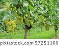 와인 용 포도 샤르도네 57251100