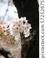 고목에 피어난 벚꽃 57252675