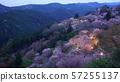 나라 요시노 산 아래 천 그루 벚꽃 라이트 업 57255137