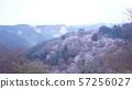 奈良縣吉野山下的一千朵櫻花,被雲海包圍 57256027