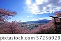 마츠다 벚꽃 축제 카와 벚꽃 57256029