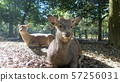 나라 공원 사슴 57256031