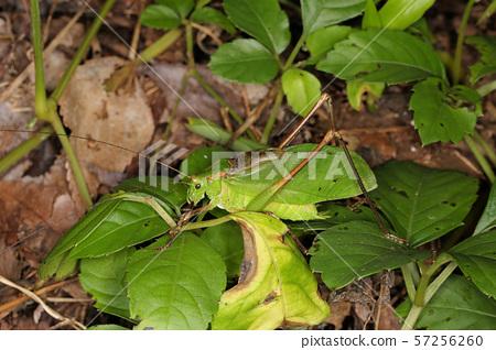 汗甲蟲雄性(綠色型),昆蟲模仿葉子 57256260