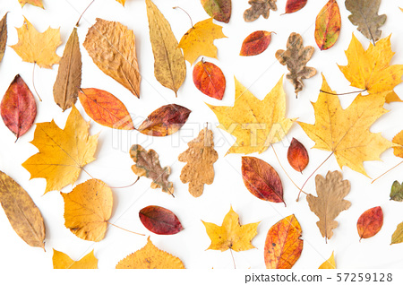 dry fallen autumn leaves on white background 57259128