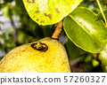 Close up of wasp climbing into a pear 57260327