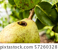 Close up of wasp climbing into a pear 57260328