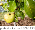 Close up of wasp climbing into a pear 57260333