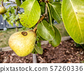 Close up of wasp climbing into a pear 57260336