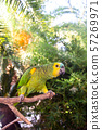 Beautiful green amazon parrot among green branches 57269971