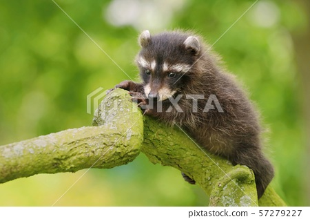 Adorable baby raccoon Procyon lotor 57279227
