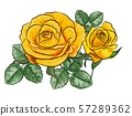 Yellow roses vector illustration 57289362