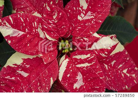 Poinsettia 57289850