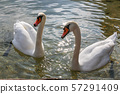 Swans in Hallstatt lake with Out of Focus 57291409