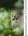 꽈리의 벌레 잎 57326356