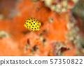 Minami Hako Hugo的幼蟲 57350822