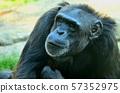 choking chimpanzee in zoo in summer time 57352975