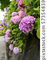 雨後的繡球花 57354839