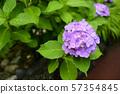 八仙花屬在雨天 57354845
