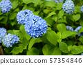 八仙花屬在雨天 57354846