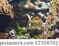Copperband butterflyfish (Chelmon rostratus) 57356702