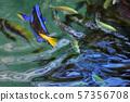 Coral fish Palette surgeonfish 57356708