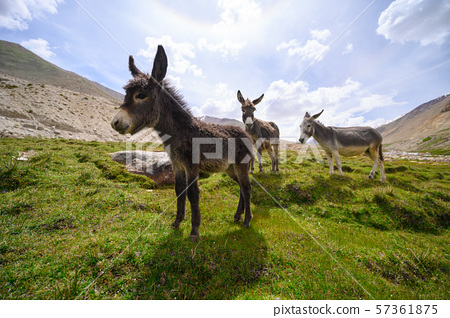 Wildlife donkeys in Himalaya 57361875