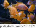 School of small goldfish, underwater world 57362171