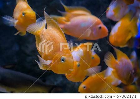 School of small goldfish, underwater world 57362171