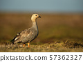 Upland Goose foraging in the field of grass 57362327