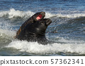 Southern elephant seals fighting in the ocean 57362341