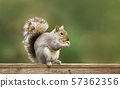 Grey squirrel eating nuts on a wooden fence 57362356
