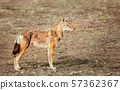 Close up of a rare and endangered Ethiopian wolf 57362367