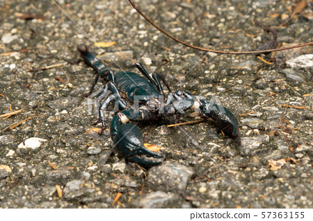 A black scorpion on ground outdoor in national 57363155