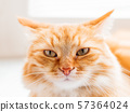 Cute ginger cat. Close up photo of fluffy pet face.  57364024