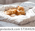 Cute ginger cat lying in bed. Fluffy pet looks curiously. Cozy home background. 57364026