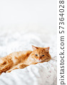 Cute ginger cat lying in bed. Fluffy pet comfortably settled to sleep. Cozy home background with funny pet. Copy space. 57364028