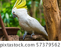 Portrait of Yellow-crested Cockatoo, Thailand 57379562