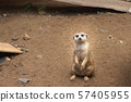 Meerkat on guard duty, cute and furry 57405955