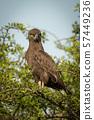 Brown snake-eagle on leafy branch eyeing camera 57449236
