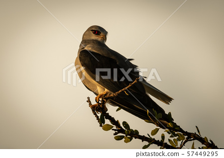 Black-shouldered kite on leafy branch looking 57449295