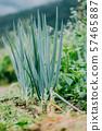 Organic Spring Onion In Growth 57465887