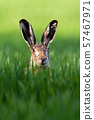 Vertical portrait of brown hare, lepus europaeus, in springtime on green field. 57467971