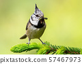 European crested tit sitting on spruce branch with worm in beak in spring 57467973