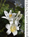 White Lily in natural conditions 57470631