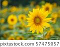 夏天向日葵 57475057