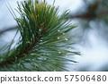 pine needles 57506480