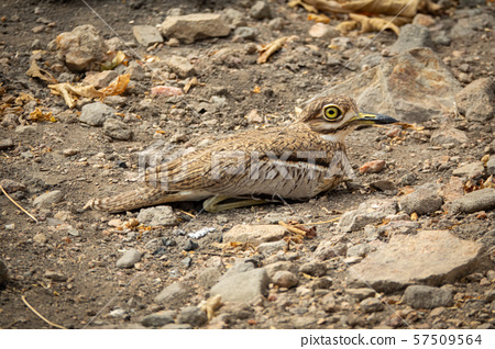 Burhinus oedicnemus perched on the ground with its big eye 57509564