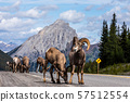Bighorn Sheep of the Rocky Mountains in Canada 57512554