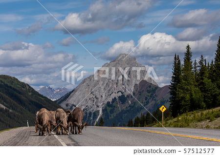 Bighorn Sheep of the Rocky Mountains in Canada 57512577
